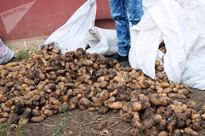 Gürcüstandan gətirilən 26 ton kartof